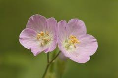 Pares de flores del geranio salvaje imágenes de archivo libres de regalías