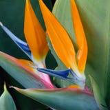 Pares de flores de la ave del paraíso imagen de archivo