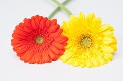 Pares de flores vermelhas e amarelas do gerbera Fotografia de Stock