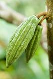 Pares de fruta del cacao Imagen de archivo