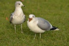 Pares de gaivota na grama verde Fotografia de Stock Royalty Free