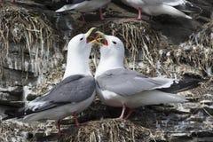 pares de gaivota de patas encarnadas que se cumprimentam perto do ninho Imagem de Stock Royalty Free