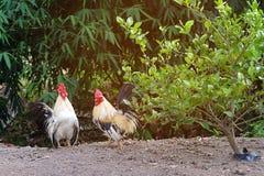Pares de galinha anã da galinha Imagem de Stock Royalty Free