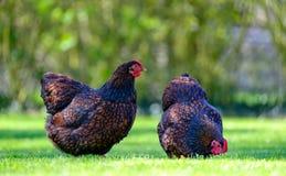 Pares de gallinas adultas de Wynadotte vistas el buscar de la comida en un jardín fotos de archivo libres de regalías