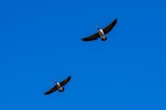 Pares de gansos canadienses Fotografía de archivo libre de regalías