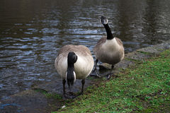 Pares de gansos de Canadá Imagens de Stock Royalty Free