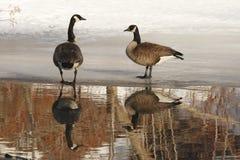 Pares de gansos de Canadá com reflexão bonita fotografia de stock