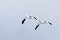 Pares de gansos de neve em voo fotografia de stock royalty free