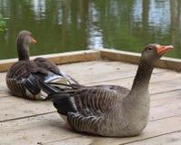 Pares de gansos de pato bravo europeu Imagens de Stock