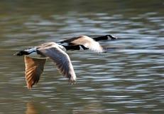 Pares de gansos do vôo Fotografia de Stock Royalty Free