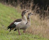 Pares de gansos egipcios Foto de archivo libre de regalías