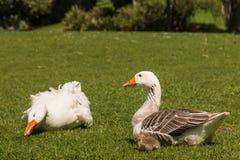 Pares de gansos nacionales con el ansarón Fotos de archivo libres de regalías