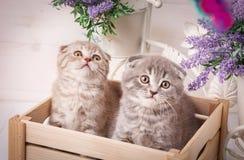 Pares de gatinhos escoceses engraçados que sentam-se na caixa de madeira e e que olham acima Fotografia de Stock Royalty Free