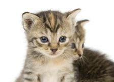 Pares de gatinhos no backgroun branco imagem de stock royalty free