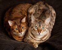 Pares de gatitos de Bengala en asiento Fotos de archivo