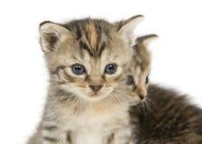 Pares de gatitos en el backgroun blanco Imagen de archivo libre de regalías