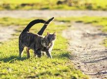 Pares de gato loving que andam no prado verde-claro em s ensolarado Imagem de Stock Royalty Free