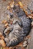 Pares de gatos en otoño en el fondo de las hojas imagenes de archivo