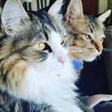 Pares de gatos que miran la ventana Fotos de archivo libres de regalías