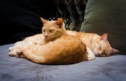 Pares de gatos rajados Fotografia de Stock