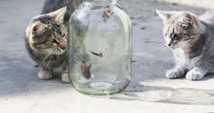 Pares de gatos rayados divertidos que miran mariposas el volar en de glas Imagen de archivo