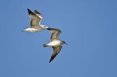 Pares de gaviotas Anillo-cargadas en cuenta que vuelan en un cielo azul Fotografía de archivo libre de regalías