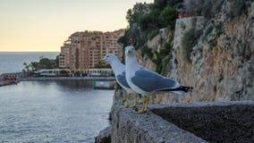 Pares de gaviotas en la pared en Mónaco Imagen de archivo