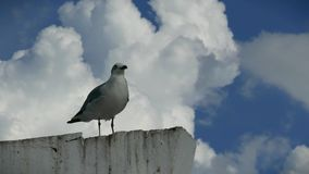 Pares de gaviotas en un pilón en Campeche México almacen de video