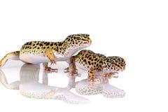 Pares de geckos del leopardo foto de archivo