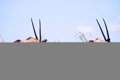 Pares de gemsbok africano Imágenes de archivo libres de regalías