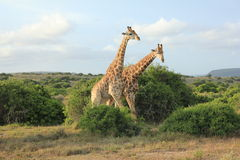 Pares de girafas Fotografia de Stock