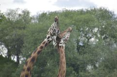 Pares de girafas de amor fotografia de stock