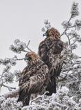 Pares de Golden Eagles Fotos de Stock