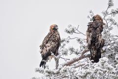 Pares de Golden Eagles Foto de archivo libre de regalías