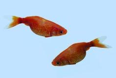 Pares de goldfish Fotografia de Stock