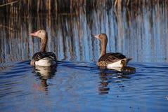 Pares de gooses salvajes en el lago Foto de archivo