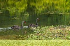 Pares de grande natação do waterbird das cisnes pretas no lago durante Fotos de Stock Royalty Free