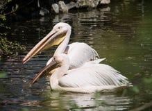 Pares de grande pelicano branco (onocrotalus do Pelecanus) Fotografia de Stock