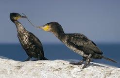 Pares de grandes Cormorants fotografia de stock