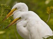 Pares de grandes Egrets brancos Foto de Stock