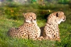Pares de guepardos Imágenes de archivo libres de regalías