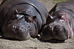 Pares de hipopótamos Imagen de archivo libre de regalías