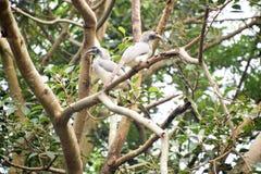 pares de hornbill cinzento indiano imagens de stock royalty free