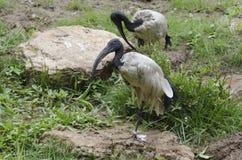 Pares de Ibis sagrado Foto de archivo