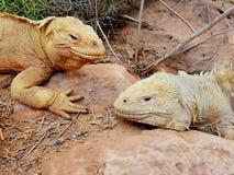 Pares de iguanas Foto de Stock