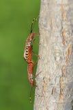 Pares de insecto del hedor imagenes de archivo