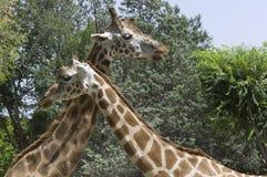 Pares de jirafas Foto de archivo