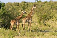Pares de jirafas Foto de archivo libre de regalías