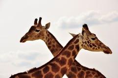 Pares de jirafas Fotografía de archivo