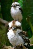 Pares de Kookaburras Imágenes de archivo libres de regalías